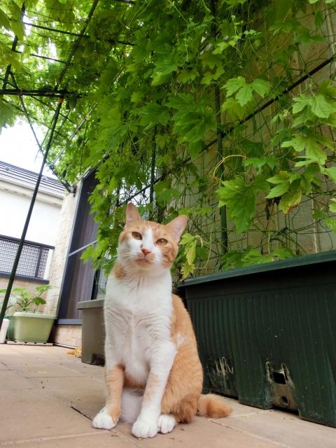 グリーンカーテンと猫